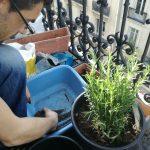rempotage d'un romarin avec terreau et compost